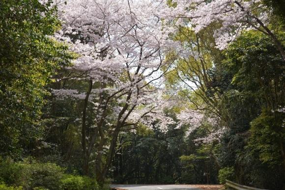 桜のトンネルをくぐり!天草の名勝千巌山は満開!!